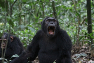 Totti en macho Alfa de uno de los grupos de Chimpancés en el bosque Kibale Uganda África