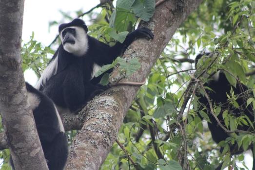 Mono Colobus blanco y negro