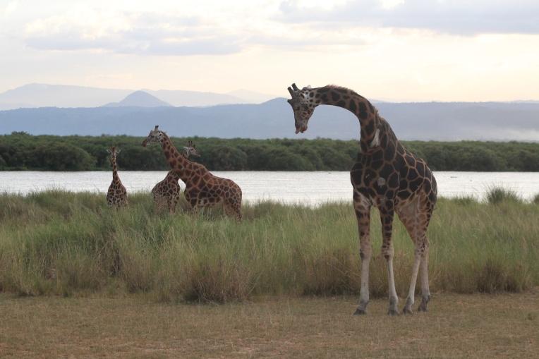 Jirafa Rothschild Giraffe Parque Nacional Murchinson Uganda Murchinson Falls National Park 3