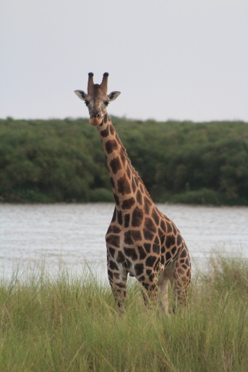 irafa Rothschild Giraffe Parque Nacional Murchinson Uganda Murchinson Falls National Park 2