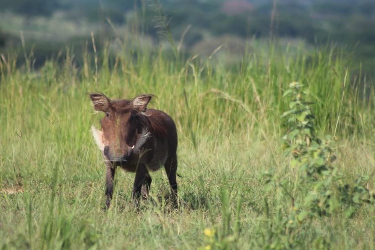Jabalí africano