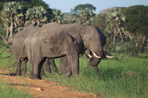 Elefante Africano Parque Nacional Murchinson Uganda